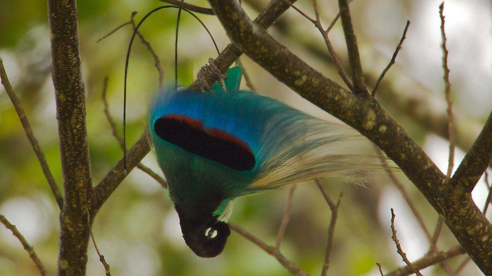 BBC Two - Attenborough's Paradise Birds, Meet the Birds of