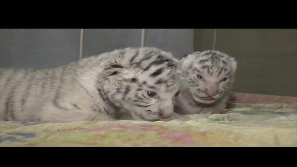 Trio of white tiger cubs born at Crimea zoo