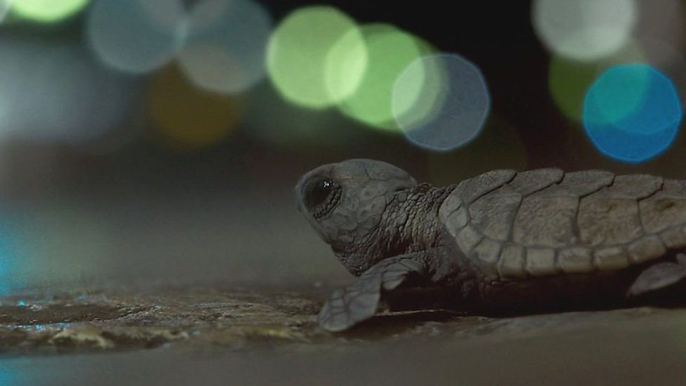 The Planet Earth II turtles were saved
