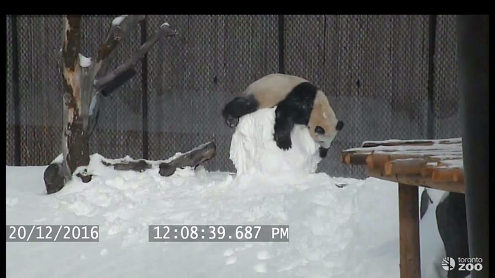 Giant panda plays with snowman