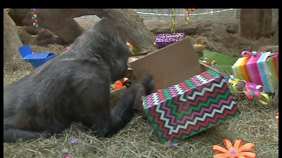 America's oldest gorilla celebrates birthday
