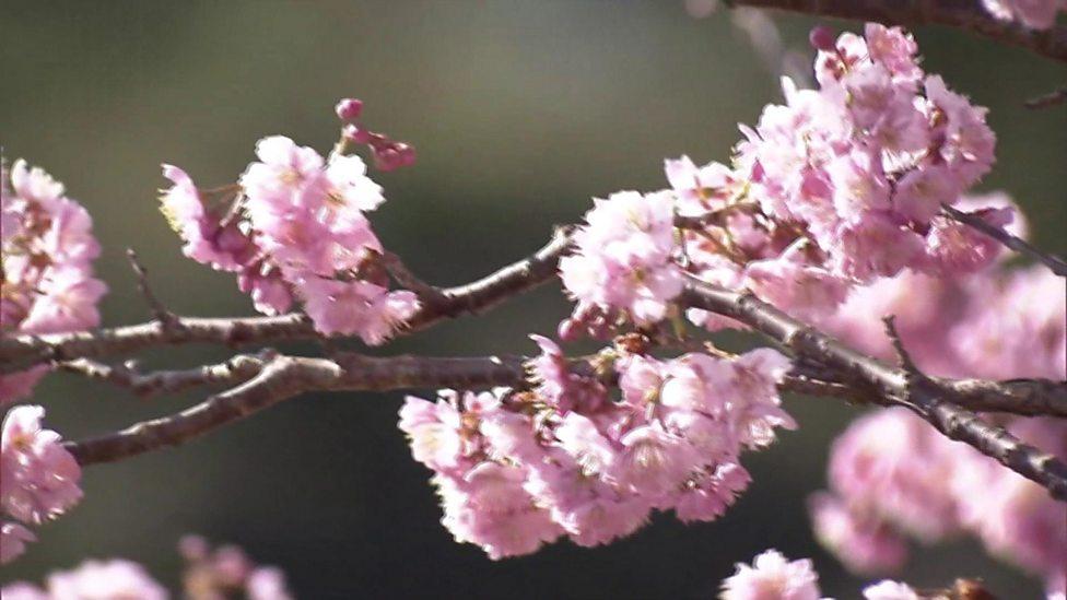 Beautiful cherry trees bloom in Japan