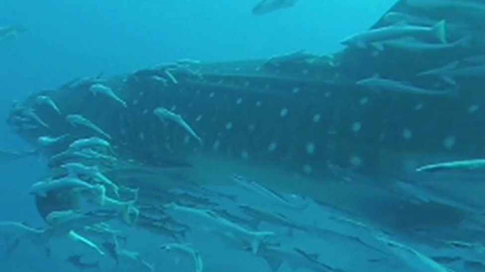 Giant whale shark caught on camera