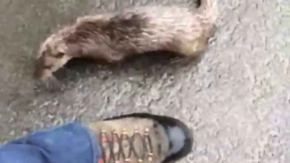 Angry otter chases man along road