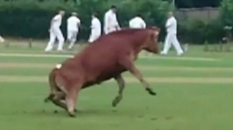 Bull-me over! It's a bull on the pitch