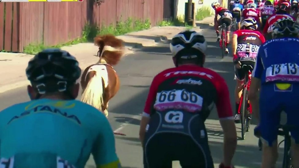 A Shetland pony in a cycle race?