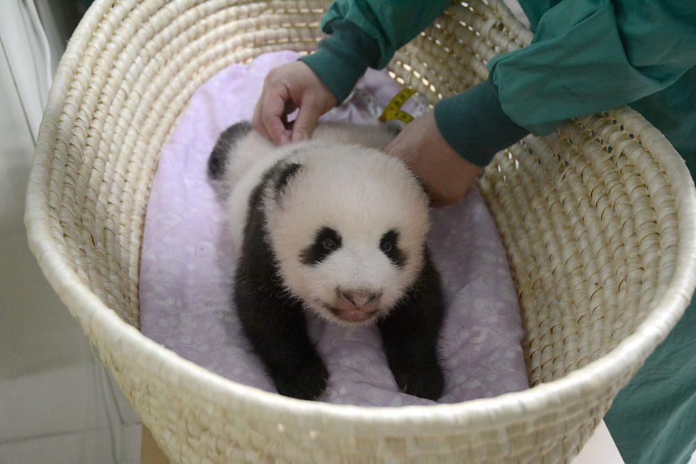 Yawn! Sleepy baby panda gets weighed