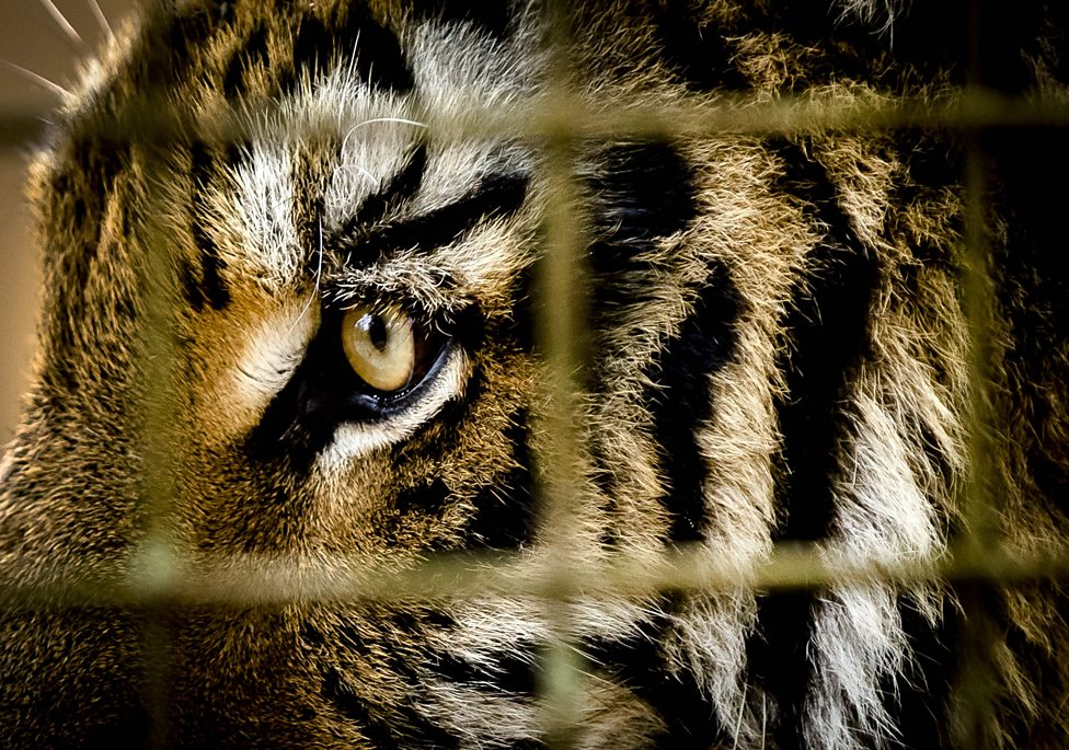 The mission to save tigers from war torn Syria