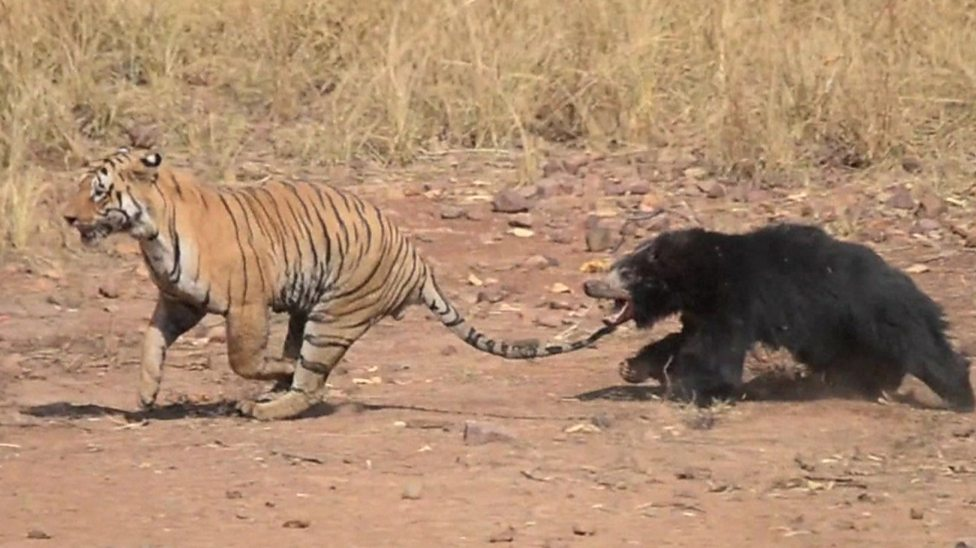 Mother bear chases off tiger!