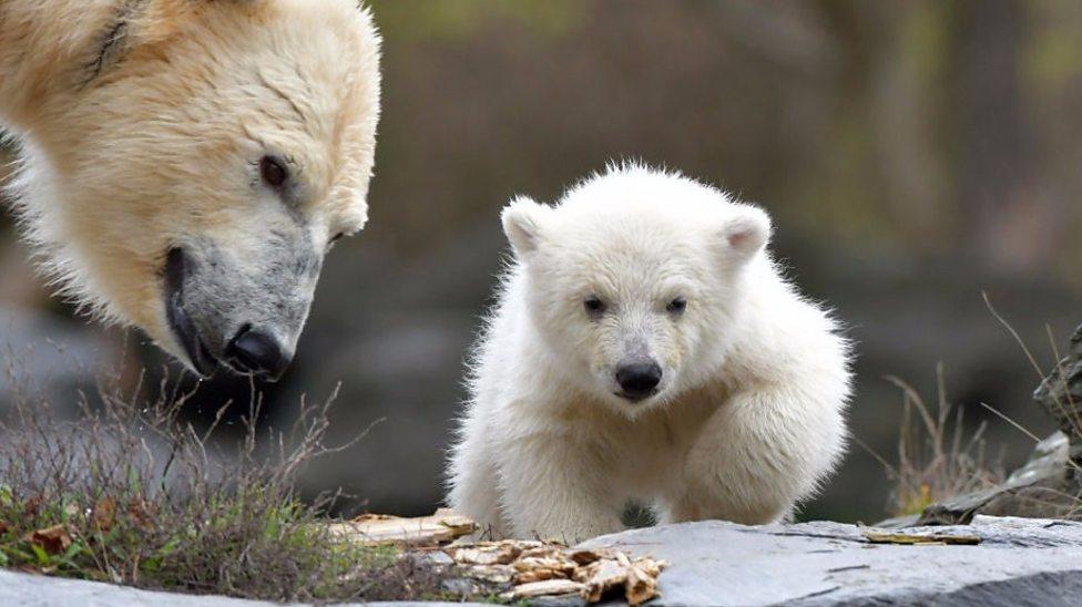 Paw-tastic polar bear cub at German zoo