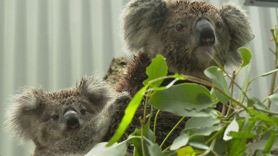 Meet the team helping Australia's koalas get ready to go back into the wild