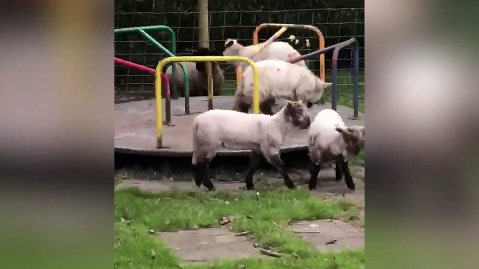 Check out these lambs on a merry-go-round!!