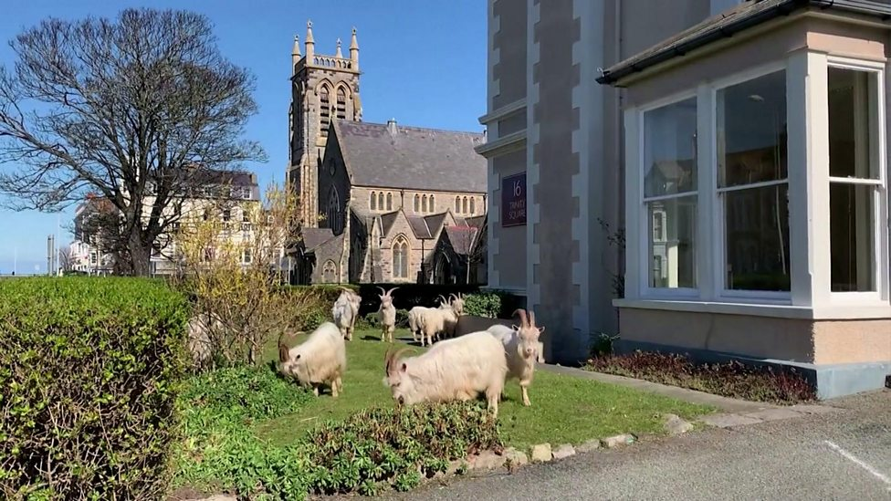Goats have been taking over the streets of Wales!