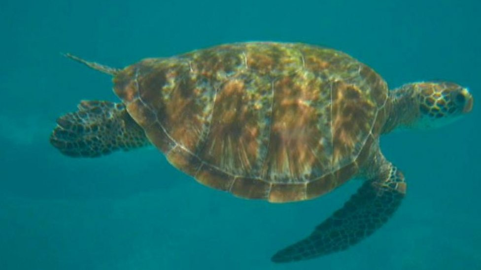 How climate change is affecting green sea turtles