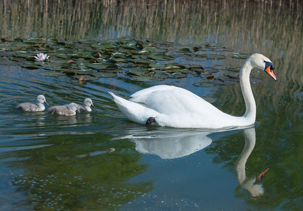 'Unlucky' swan finally becomes a mum
