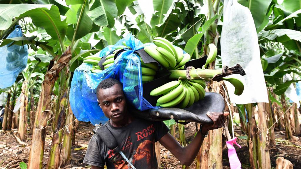 A man carries a bunch of bananas in a plantation field near Dabou, Ivory Coast