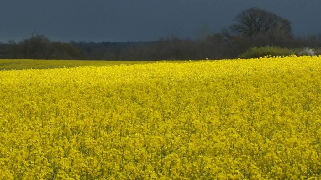 Rape fields and stormy sky