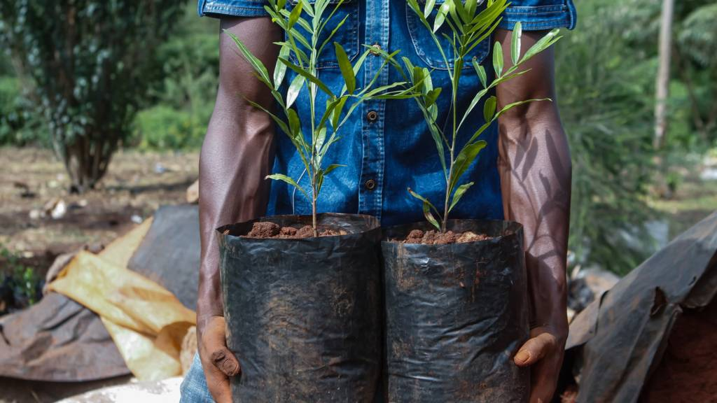 Thika Palm tree seedlings ready for sale and transplant seen at Rongai road side tree nursery in Kenya