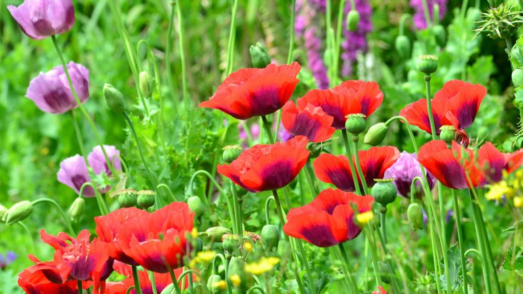 Poppies in Empingham
