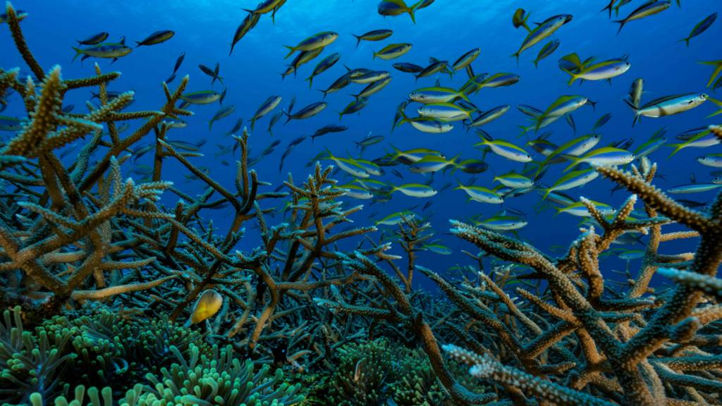 Fish swim in a coral reef in the Comoros