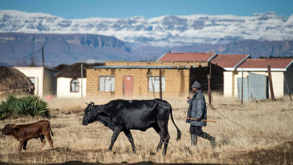 A man walks with cows by mountains from the South African Drakensberg mountain range covered in snow - July 2016