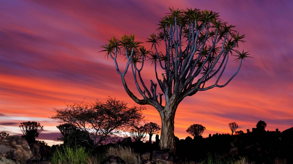 A quiver tree forest near Keetmanshoop, Namibia, at dusk.