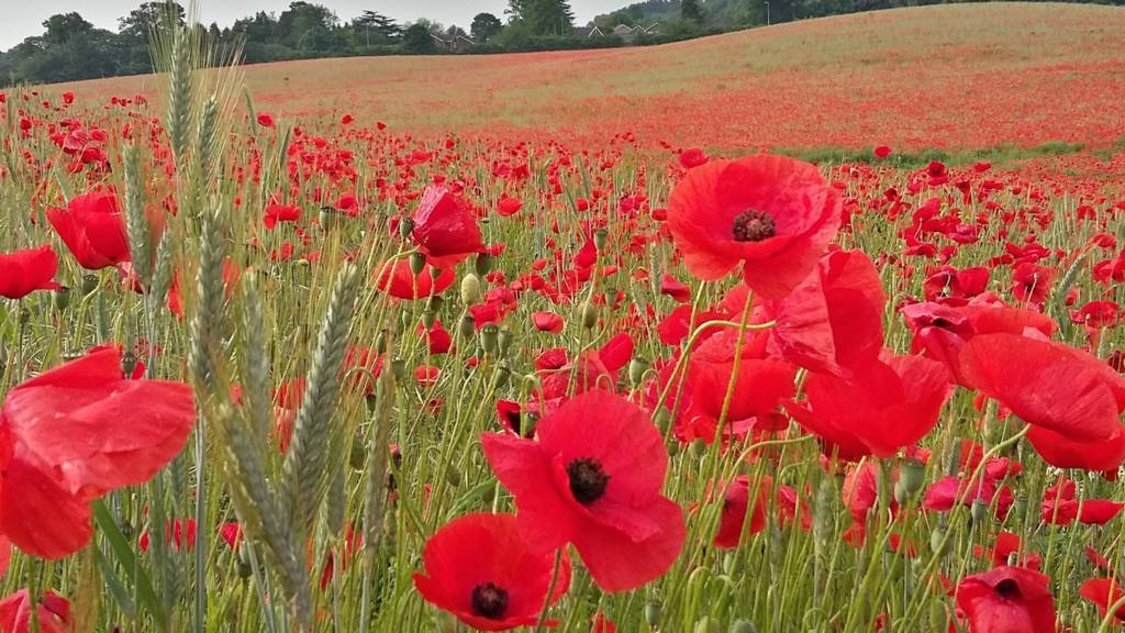 Poppies in Himley