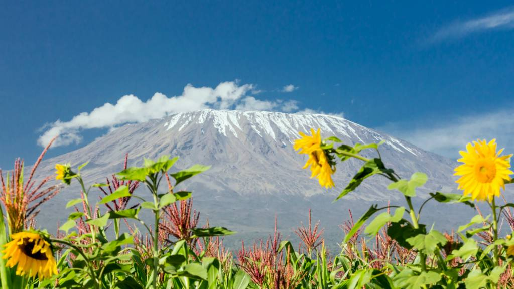 Sunflowers seen with Kilimanjaro in Tanzania in the background