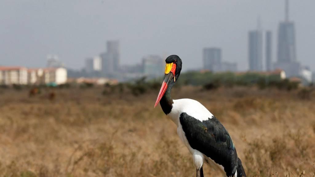 A saddle-billed stork stands in the grassland at the Nairobi National Park near Nairobi, Kenya - 23 January 2017