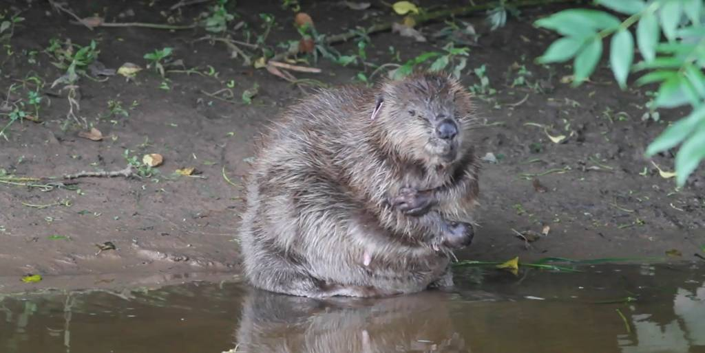 Beaver. Pic: Chris Townend/Wise Birding Holidays