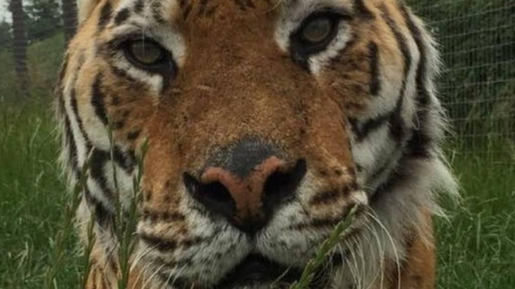 Tango the tiger