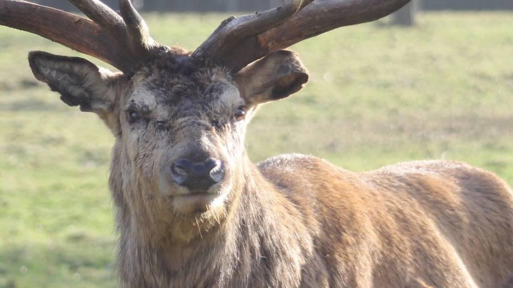 wollaton park deer