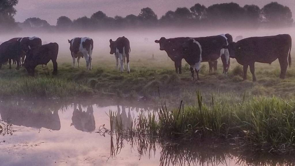 Cows in the Earsham mist