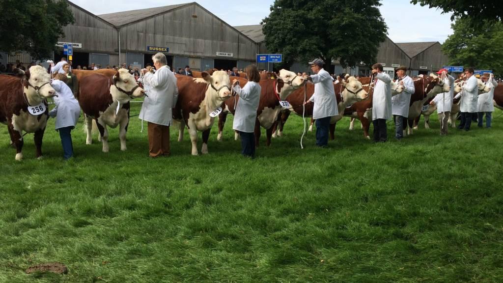 Cows at Royal Norfolk Show