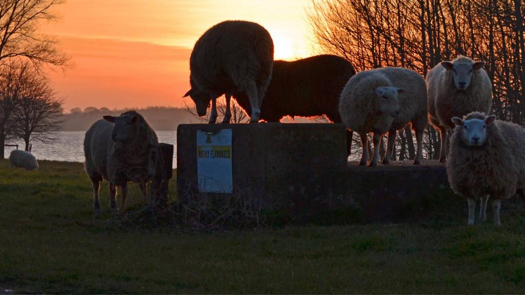 Sheep enjoying the sunset at Normanton on Rutland Water