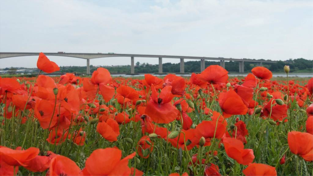 Poppies near the Orwell Bridge
