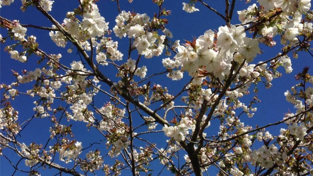 Cherry Blossom in Uppingham