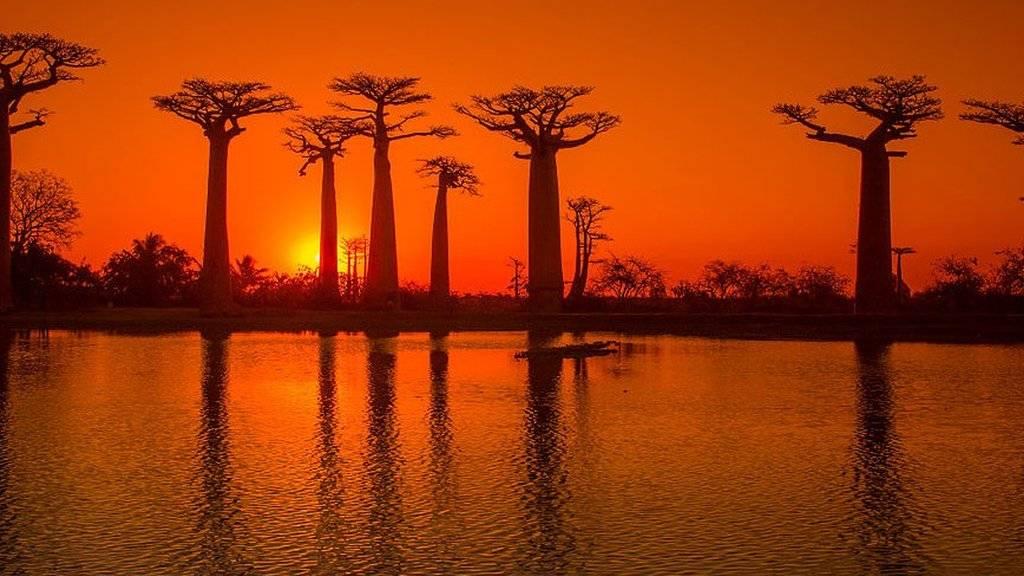 Baobab trees in Madgascar