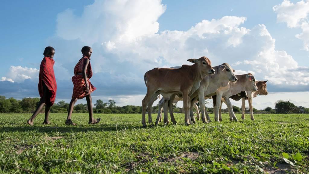 Young boys herd cattle in Kilosa District, Tanzania - 2017