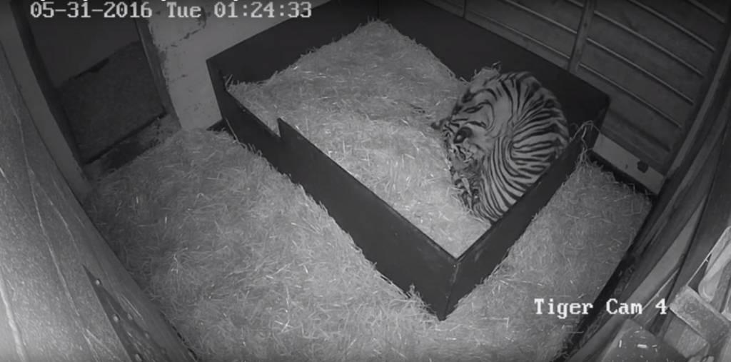 Sumatran tiger and cubs. Pic: Paignton Zoo