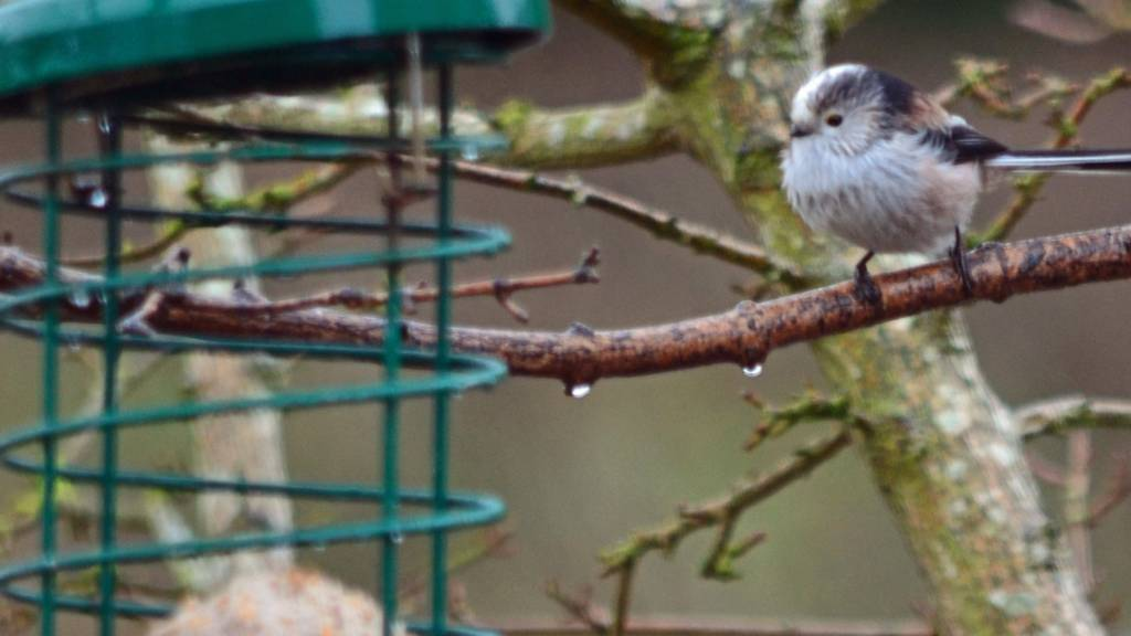 Long-tailed Tits eating from a bird feeder in Empingham in Rutland
