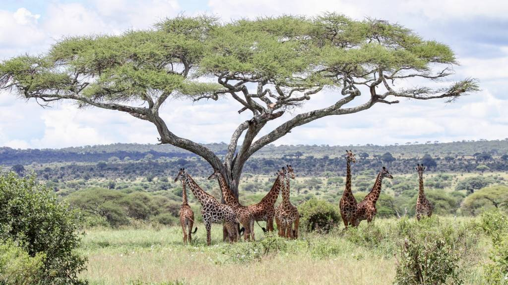 Giraffes below an acacia tree in Ngorongoro conservation area, Tanzania
