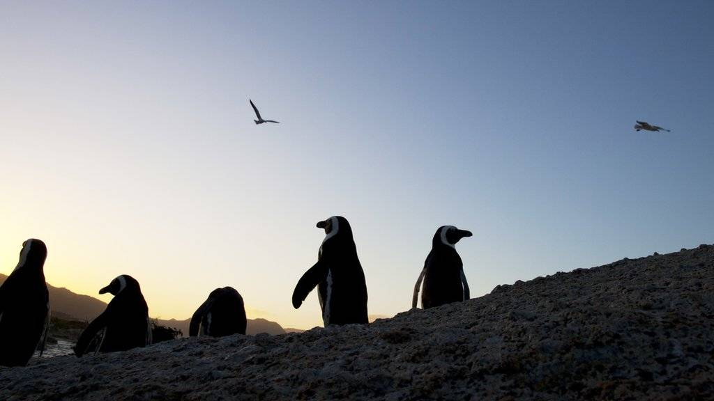 Penguins walk along the rocks at sunset in Simon's Town, South Africa.