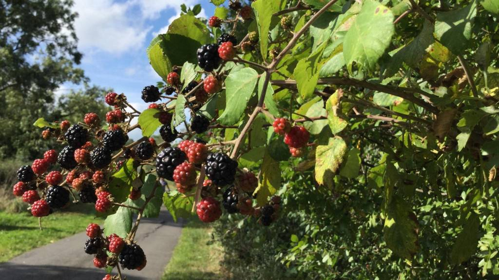 Blackberries and blue skies near Kegworth