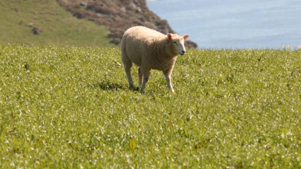 Sheep, East Portlemouth