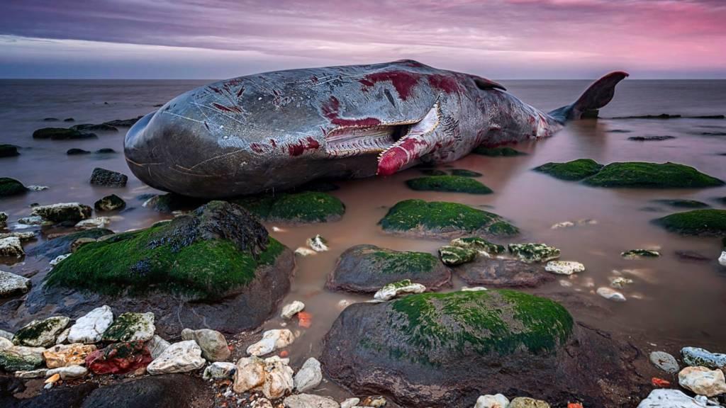 Dead whale at Hunstanton