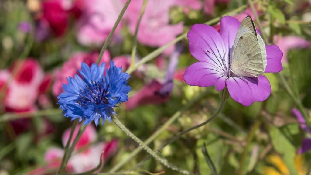 Butterfly on a flower in Calke