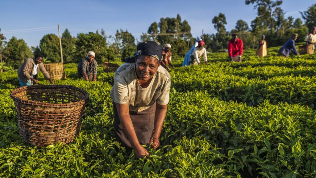 Women plucking tea leaves in a plantation in western Kenya