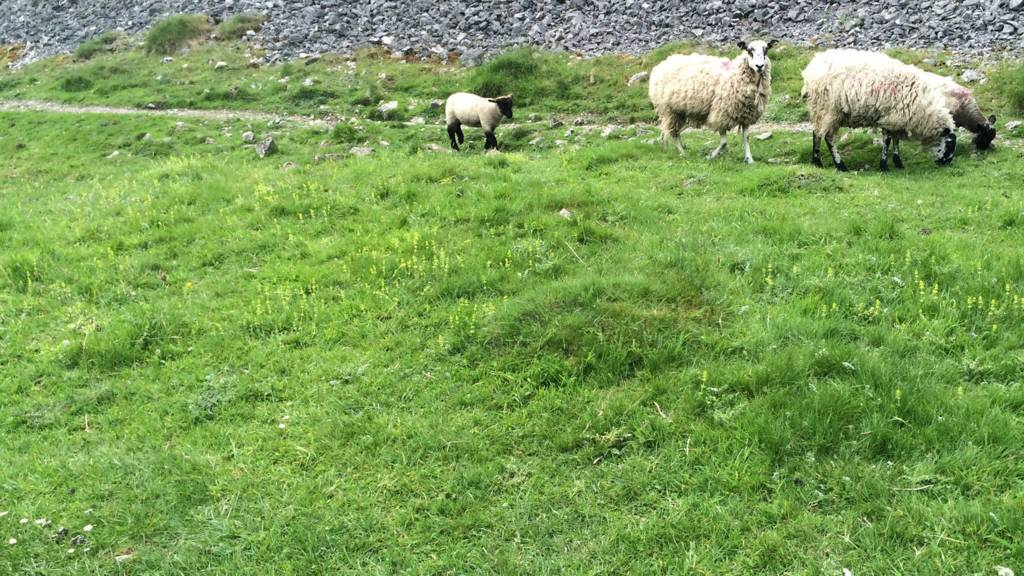 Sheep in Ashbourne