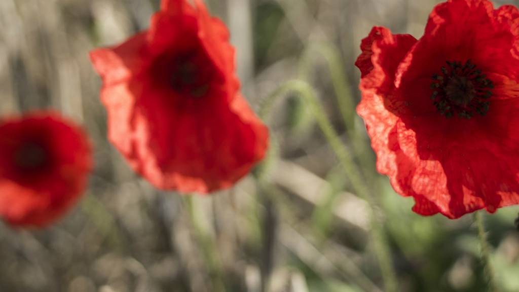 Poppies at Blows Downs in Bedfordshire